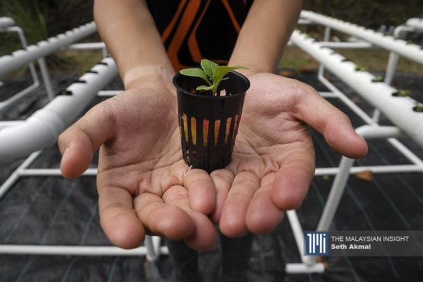 A resident sowing pak choy seeds at the hydroponic farm set up in Melor apartments in Bukit Subang, Selangor. – The Malaysian Insight pic by Seth Akmal, October 12, 2020.