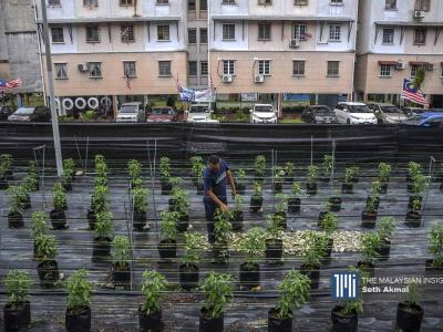 A resident taking a looks at the vegetables growing near Melati apartments in Bukit Subang, Selangor. – The Malaysian Insight pic by Seth Akmal, October 12, 2020.