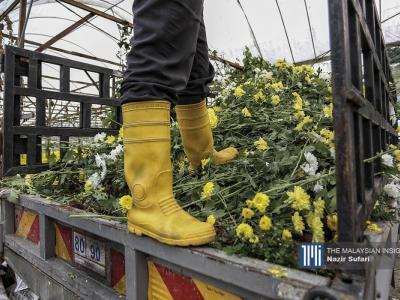 随着政府落实全面封锁后,本地需求停,鲜花需求量大减,令到花农在收成后无法售出,被逼销毁鲜花。(摄影:Nazir Sufari)