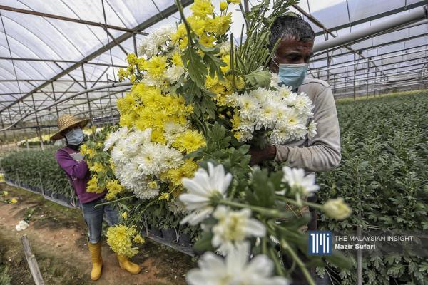 金马仑的花农在得知可在全面封锁期间,可以照常运作后松了一口气。(摄影:Nazir Sufari)
