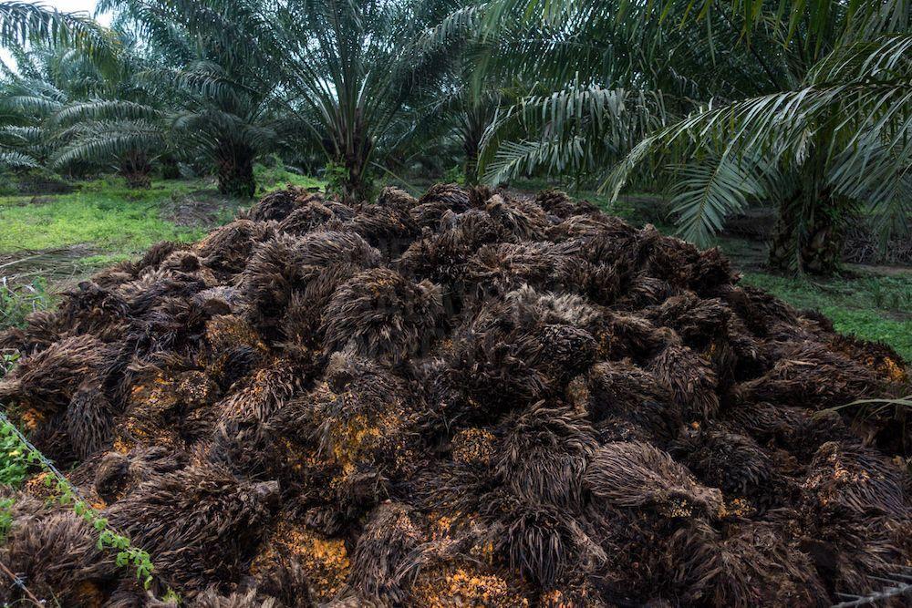 砂拉越油棕种植业主协会就表明,移工占了种植业劳动力的80%,其余20%的马来西亚员工都是管理层人员。(档案照:透视大马)