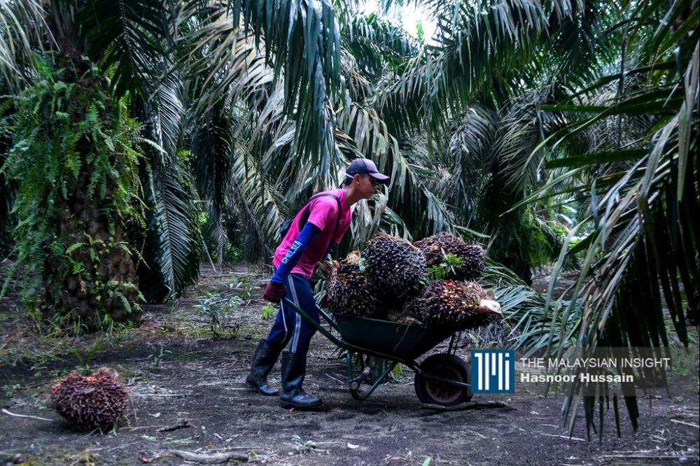 在东马,有大量的童工在油棕园工作。(档案照:透视大马)
