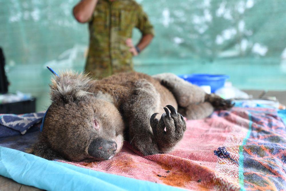Australia's 'black summer' bushfires harmed more than 60,000 koalas: WWF